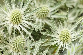 pic of scottish thistle  - Thistle flowers - JPG