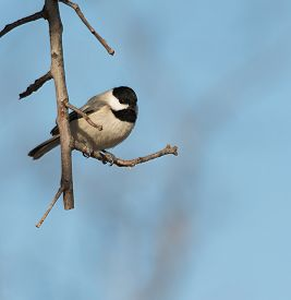 stock photo of chickadee  - Carolina Chickadee sitting on an Oak branch against winter sky - JPG