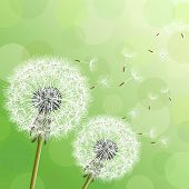 Постер, плакат: Green Background With Two Flowers Dandelions