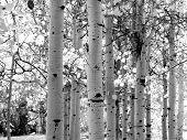 Black And White Image Of Aspen Trees
