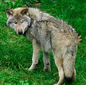 stock photo of quadruped  - this is a young gray wolf looking back - JPG