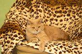 pic of irish  - Irish Red cat resting on a leopard print rug - JPG
