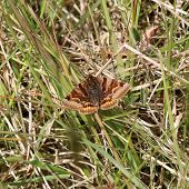 stock photo of moth  - This image is of a Burnet Companion Moth resting on grass - JPG