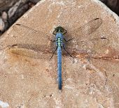 stock photo of dragonflies  - A Blue Dasher Dragonfly sitting on a rock - JPG