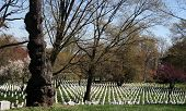 Arlington cemetery and old gnarled tree