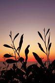 stock photo of vegetation  - Silhouettes of wild vegetation at the sunset light - JPG