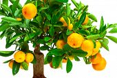 picture of tangerine-tree  - beautiful tangerine tree on a white background - JPG