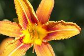 picture of day-lilies  - Macro view of orange day ily flower shallow DOF - JPG