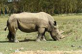 stock photo of rhino  - African White Rhino Lake Nakuru National park of Kenya - JPG