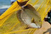 stock photo of horny  - Big fish in a yellow fishing nets - JPG