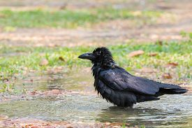 pic of bathing  - natural scene of crow bathing in field use for natural wildlife scene - JPG