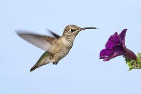 picture of hummingbirds  - Annas Hummingbird  - JPG