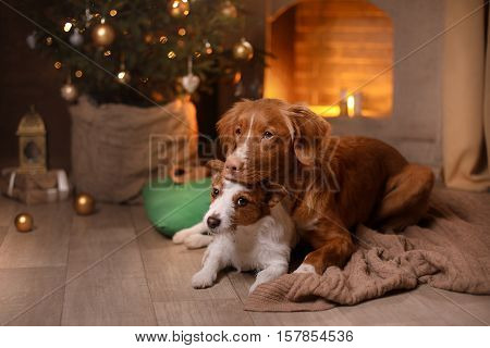 poster of Dog Jack Russell Terrier And Dog Nova Scotia Duck Tolling Retriever . Happy New Year, Christmas, Pet