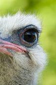 foto of ostrich plumage  - Ostrich eye close - JPG