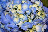 Beautiful Blue Hydrangea Fowers