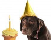 stock photo of chocolate lab  - Old labrador retriever wearing a birthday hat with a cupcake - JPG
