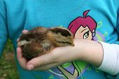 Chick In A Child'S Hand
