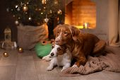 Dog Jack Russell Terrier And Dog Nova Scotia Duck Tolling Retriever . Happy New Year, Christmas, Pet poster