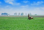 roebuck jumping over green wheat field