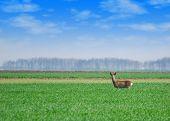 roebuck standing in green wheat field