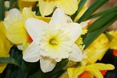 Beautiful Narcissus Fowers