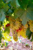 Ripe White Wine Grapes Plants On Vineyard In France, White Ripe Muscat Grape New Harvest poster