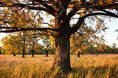 Big Old Oak In A Oak Grove In Autumn poster