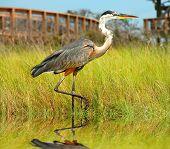 Beautiful heron wading in seaside marsh