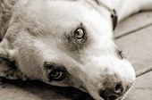 image of sad dog  - Sweet dog laying down looking up - JPG