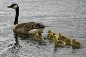 stock photo of mother goose  - Mother Canada Goose and Goslings in the water at Sherburn Wildlife Refuge in Minnesota - JPG