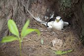 fairy tern in the nest