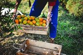 The Orange And The Hands Of The Orange Gardener Are Made Every Day In His Orange Orchard. Orange Han poster