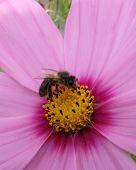 Cosmos Bee