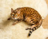 pic of bengal cat  - Orange and brown bengal kitten cat playing on a wool rug - JPG
