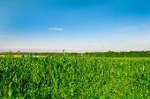 Field of corn against the dark blue sky