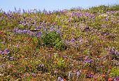 Wildflowers Mount Saint Helens National Park Washington