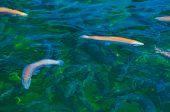 Multicolored trout swim in a river uncontaminated