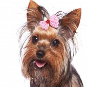 baby face yorkshire terrier puppy dog with head hair tied in a pink bow, panting on a white backgrou