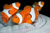 Clown fish family, Amphiprion ocellaris, hiding in host sea anemone
