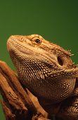 Australian Bearded Dragon (Pogona Vitticeps)