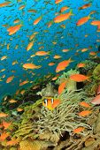 Tropical Anthias fish with corals and anemones on Red Sea reef underwater