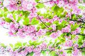 stock photo of japanese magnolia  - blossom - JPG