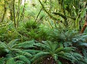foto of fern  - Temperate rain forest with  Fern  - JPG