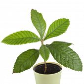 Loquat Medlar Seedling Tree in Pot isolated on a white background