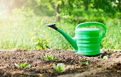 picture of water cabbage  - green watering can in garden on ground - JPG