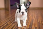 stock photo of french bulldog puppy  - French bulldog puppy - JPG