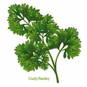 Curly Parsley Herb