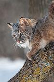 Bobcat (rufus do Lynx) olha para trás