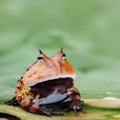 stock photo of pet frog  - Pacman frog or toad - JPG