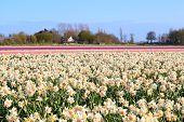 Dutch Fields Witn Many Daffodils And Hyacinths
